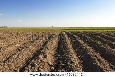 Agricultural field on which grow potatoes. furrow