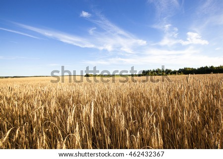 Agricultural field on which grow ripe wheat.