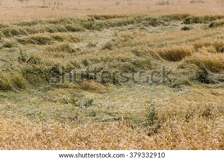 Agricultural field on which grow ripe yellowed cereals