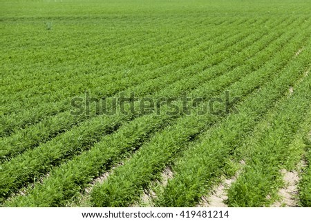 Agricultural field on which grow up carrots. green plant carrots