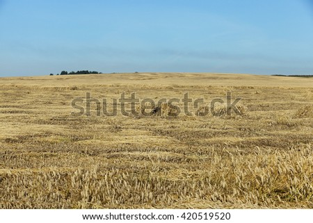 Agricultural field on which grow up cereals wheat, Belarus, ripe and yellowed cereals, small depth of field