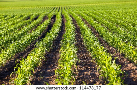 agricultural field on which grow up corn. small depth of sharpness