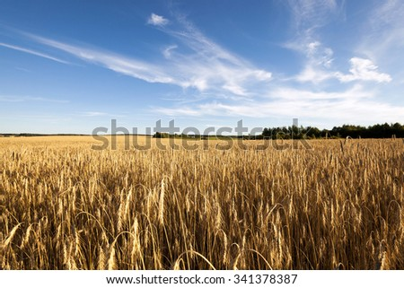 Agricultural field on which grow up ready to harvest ripe yellow cereals