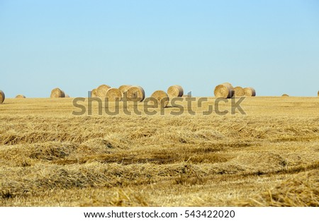 Agricultural field on which stacked straw haystacks after the wheat harvest