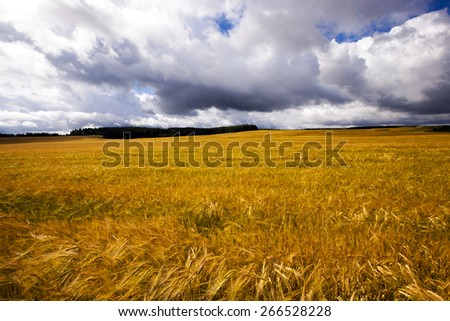 agricultural field where ripe rye. Blue sky. - stock photo