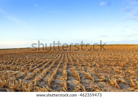 agricultural field, which collected mature corn crop, beveled stems plant closeup defocus