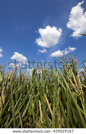 agricultural field with green immature corn, blue sky