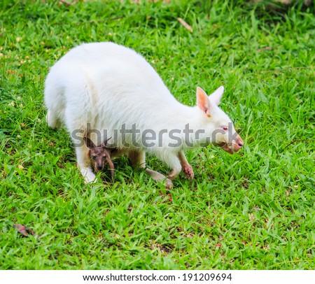 Albino kangaroo - wallaby with red eyes  - stock photo
