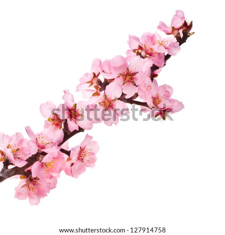 almond tree pink flowers close-up with branch isolated on white background.