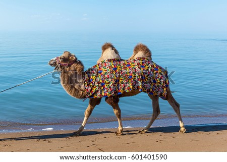 Ð¡amel goes on a beach, a camel is in a national maid