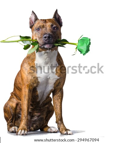 American Staffordshire Terrier with a green rose in the mouth before white background. - stock photo