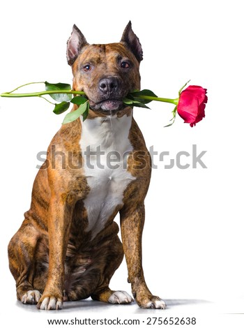 American Staffordshire Terrier with a rose in the mouth before white background. - stock photo
