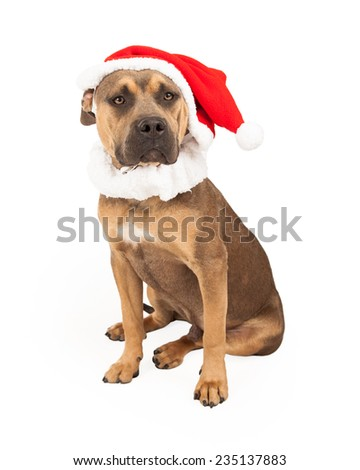 An adorable Staffordshire Bull Terrier Mix Breed Dog  wearing a Santa cap while sitting.
