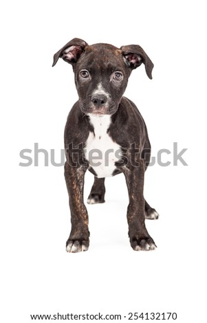 An adorable Staffordshire Bull Terrier Mixed Breed  four month old puppy standing while looking directly into the camera.  - stock photo