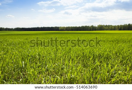 an agricultural field in the spring season, which is growing unripe green wheat. blue sky