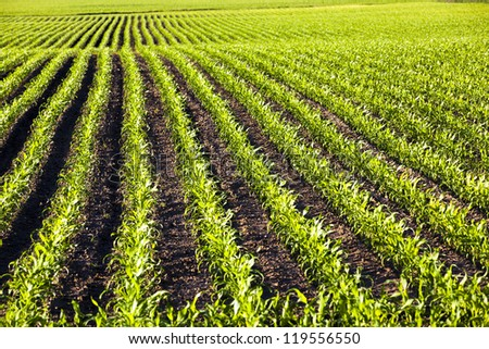 an agricultural field on which grow up young corn - stock photo