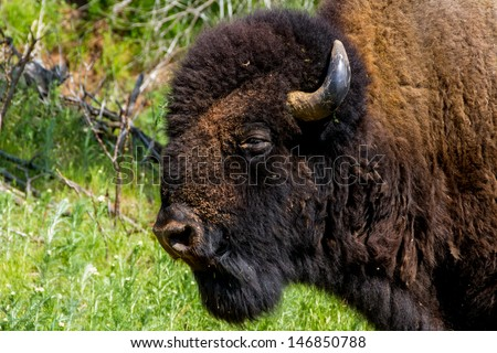 An Iconic Wild Western Symbol - the American Bison (Bison bison), also Known as the American Buffalo, Living on the Range in Oklahoma.  Closeup head shot. - stock photo