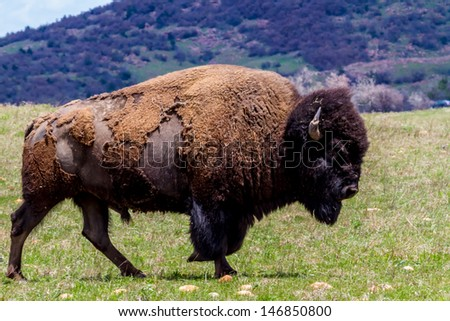 An Iconic Wild Western Symbol - the American Bison (Bison bison), also Known as the American Buffalo, Living Free and Wild on the Range in Oklahoma. - stock photo
