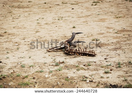Animal Carcass, Hartebeest. Death in the desert, Kalahari desert, South Africa.  - stock photo
