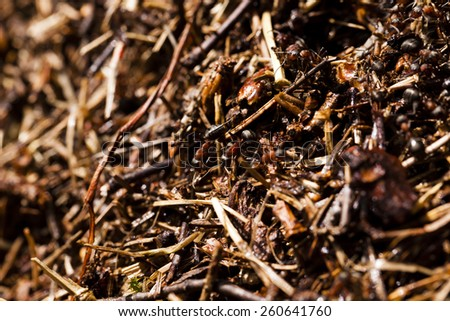 ant hill with the ants who are on it. small depth of sharpness - stock photo