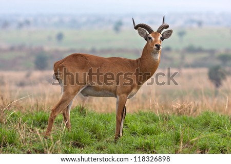 Antelope at Murchison Falls National Park Safari Reserve in Uganda