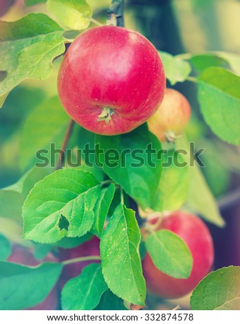 apples on the tree - stock photo