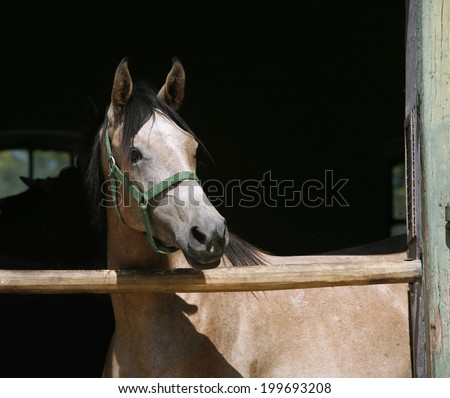 Arabian horse stallion portrait at the corral door. 	Beautiful horse head-shot. Close-up of youngster arabian horse in stable - stock photo