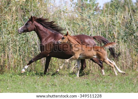 Arabian horses canter on natural background summertime - stock photo