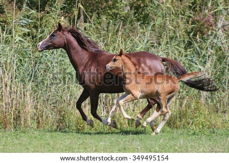 Arabian horses canter on natural background summertime. Foal with her mother  - stock photo