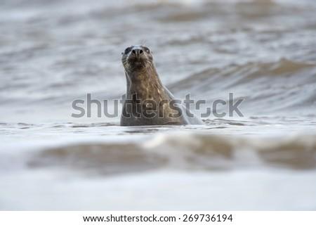 Atlantic Grey Seal in the North Sea/Atlantic Grey Seal/Atlantic Grey Seal (halichoerus grypus) - stock photo