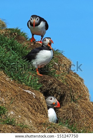 atlantic   puffins in the eastern fjords of  iceland      - stock photo