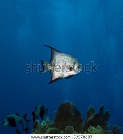 Atlantic spadefish swimming on coral reef - stock photo