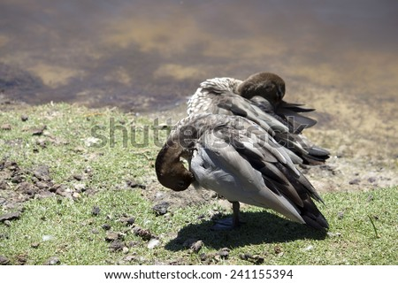 Australian brown wood ducks chenonetta jubata standing on the green grassy bank of the lake  preening  themselves in Big Swamp Bunbury Western Australia on a sunny summer afternoon. - stock photo