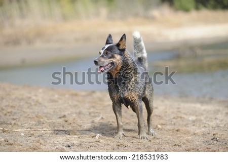 Australian Cattle Dog. Karte Dinkum Ozzie, a pedigree  male cattle dog responding to trainer's commands