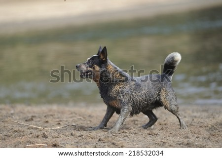 Australian Cattle Dog. Karte Dinkum Ozzie, a pedigree  male cattle dog responding to trainer's commands - stock photo