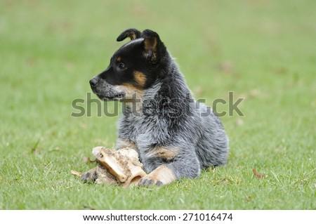 Australian Cattle Dog. Pedigree Puppy aged 10 weeks. Eating a bone.  aka Blue Heelers.  - stock photo
