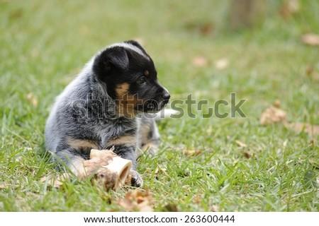 Australian Cattle Dog. Pedigree PUPPY 5 weeks old. Aka Blue Heeler.  - stock photo