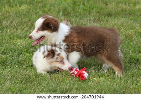 Australian Puppy's playing tug of war - stock photo