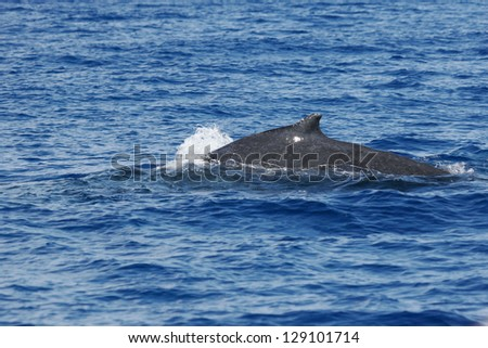 Back of whale.Humpback whale are swimming next to coast of Hawaii island. Back of adult Humpback whale. - stock photo