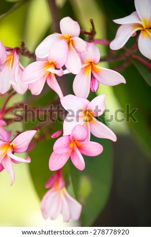 Background of tropical flower,  pink frangipani - stock photo