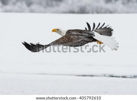 Bald Eagle ( Haliaeetus leucocephalus washingtoniensis ) fly up from snow. Alaska - stock photo