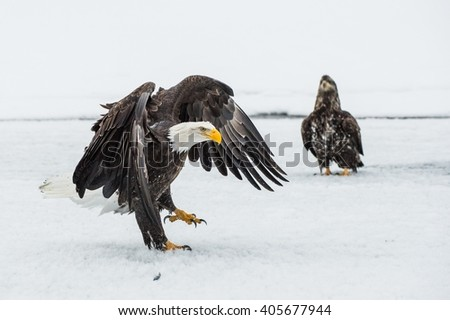 Bald Eagles (HALIAEETUS LEUCOCEPHALUS) fly up from snow. Alaska  - stock photo