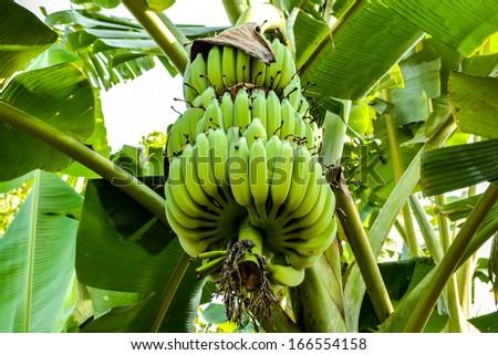 Banana bunch unripe on banana tree  - stock photo