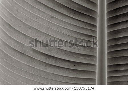 banana leaves in black and white color - stock photo