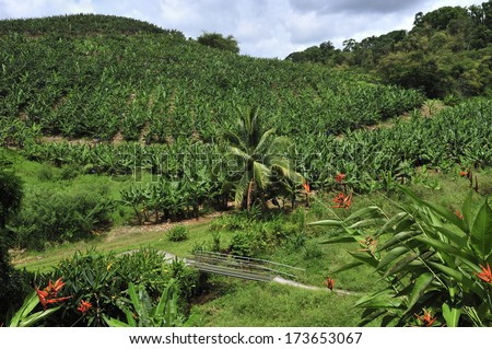 banana plantation at the foot of volcanic mountain, Martinique, Caribbean Sea