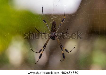 banana spider - stock photo