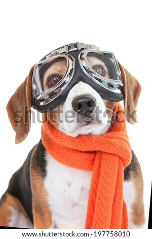 Beagle dog wearing flying glasses or goggles - stock photo