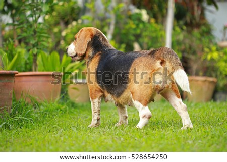 beagle on a natural green background