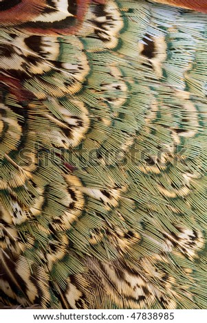 Beautiful abstract background close up consisting of chinese ringneck pheasant feathers - stock photo