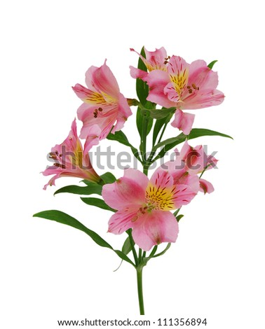 Beautiful alstroemeria lily flowers on white background - stock photo